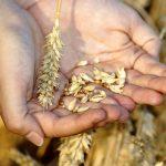 https://pixabay.com/photos/wheat-hands-grain-grains-keep-3534233/