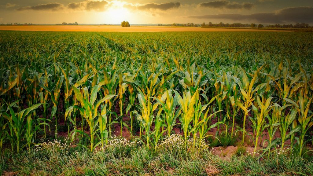 https://pixabay.com/photos/corn-cornfield-agriculture-arable-4896300/